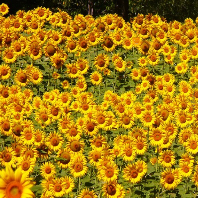 Brain teaser - Picture Logic Puzzle - Sunflower field - Can you find a hidden pumpkin in the sunflower field?